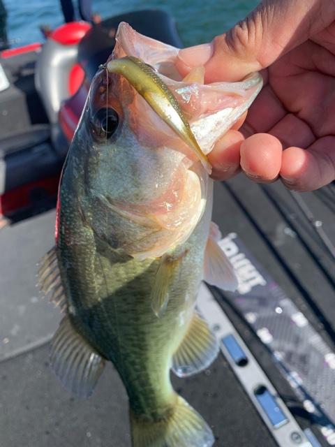 11月6日琵琶湖ガイドは北湖も南湖もシブシブの中を数釣りとサイズを混ぜていく作戦はジャスターフィッシュ2.5が強い味方でした。