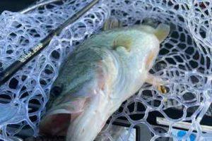 10月24日琵琶湖ガイドは数は釣れてもサイズアップが難しい1日