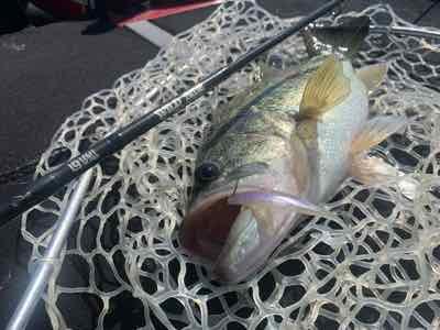 5月3日琵琶湖ガイドはミスが無かっタラレバの釣果は暖か過ぎてもアカンのか?